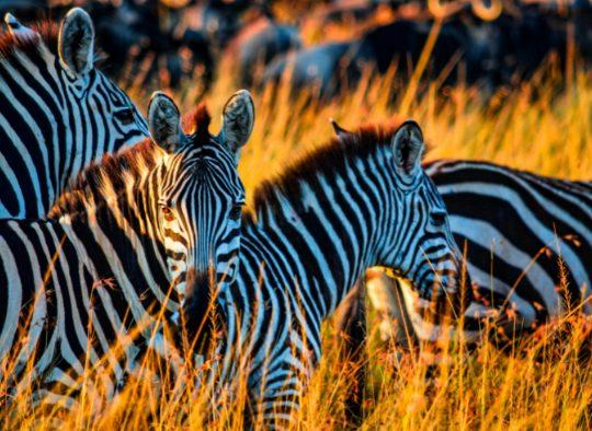 Safaris dans les parcs du Kenya - Les matins du monde