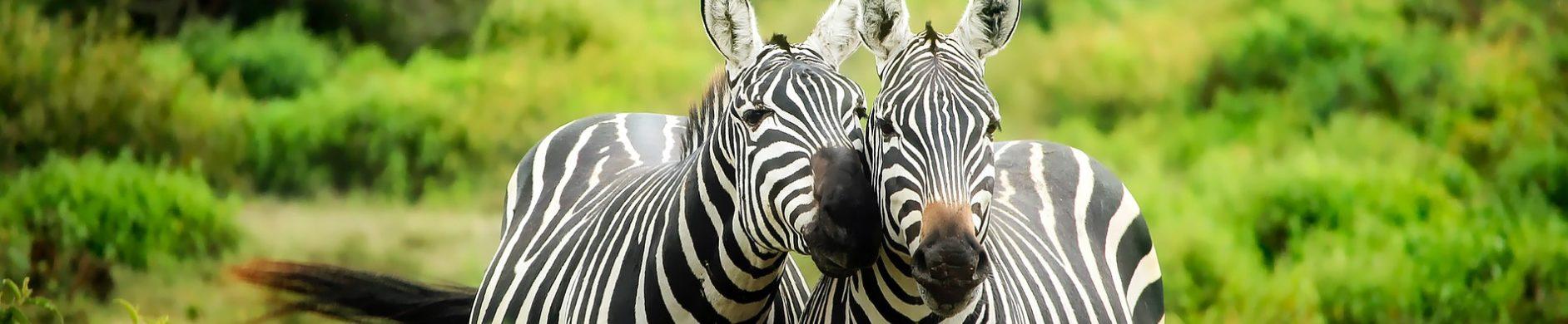 Kenya+Safari+zèbre+Voyage+Sur-mesure+Matins+Monde - Les matins du monde