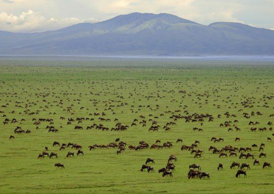 Tanzanie - Migration à Ndutu - Les matins du monde